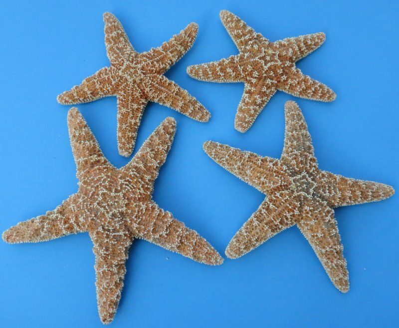 Wholesale Sugar Starfish Bulk For Crafts 6 7 3 4 Packed 6 Pcs 2 50 Each Starfish For Sale Beach Supplies Crafts