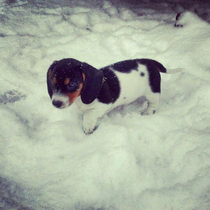 S More Piebald Miniature Dachshund Playing In The Snow