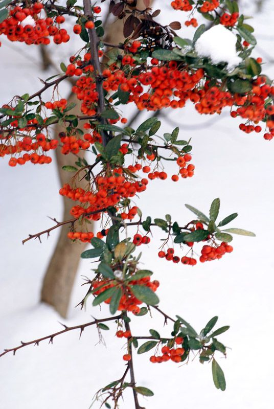 wild pear berries snowy istanbul turkey it s beginning to feel a lot like christmas