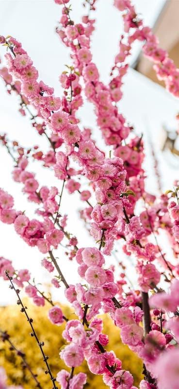 خلفيات ورد للايفون Pink Flowers Wallpaper Hd Flower Wallpaper Blue Flower Wallpaper