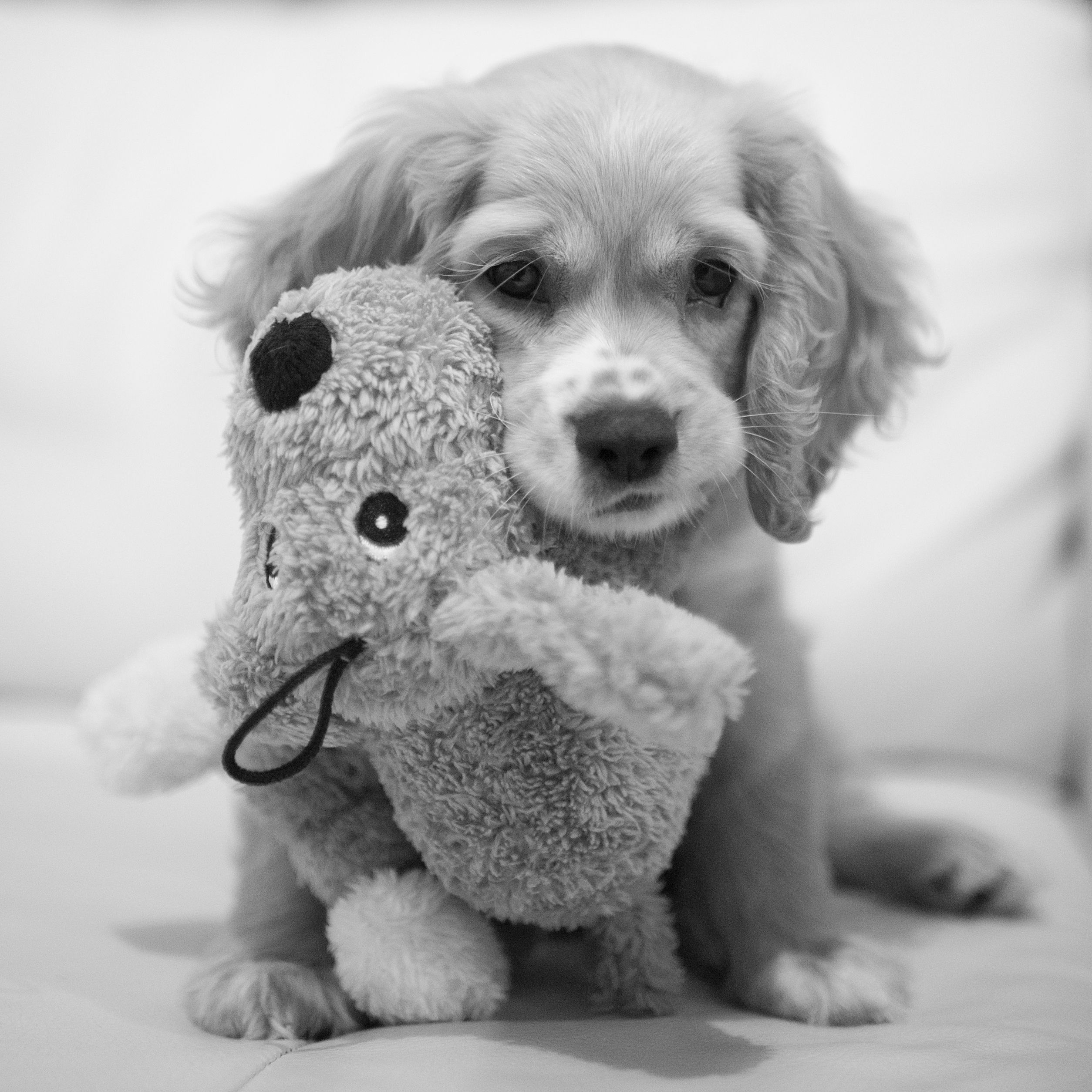 Cocker Spaniel.Puppy with its own Puppy Cuddly Toy