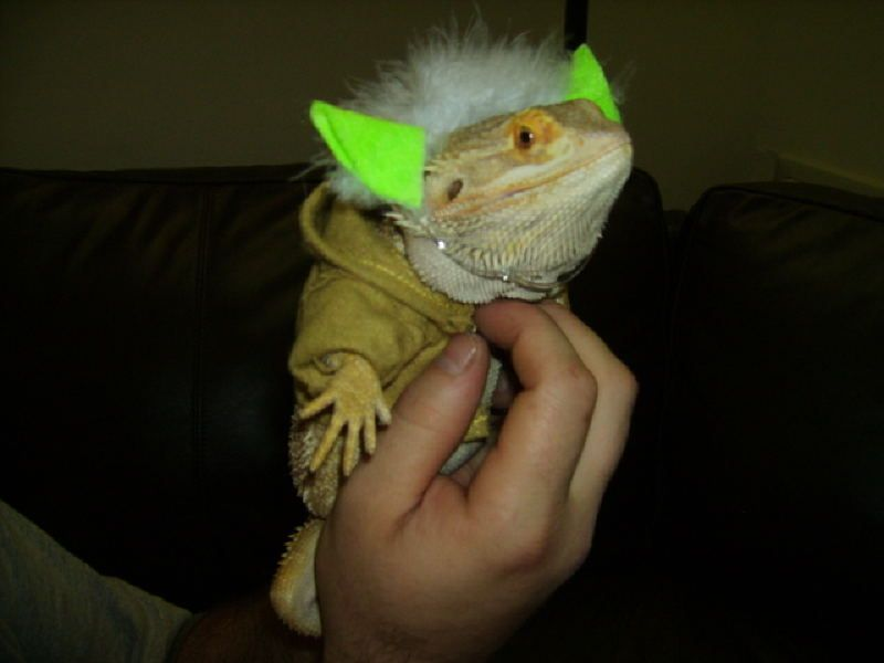 Yoda costume for bearded dragon : costumes for bearded dragons  - Germanpascual.Com