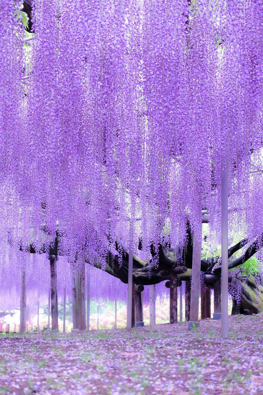 Ashikaga Flower Park, Tochigi, Japan by Noe Arai... Wisteria