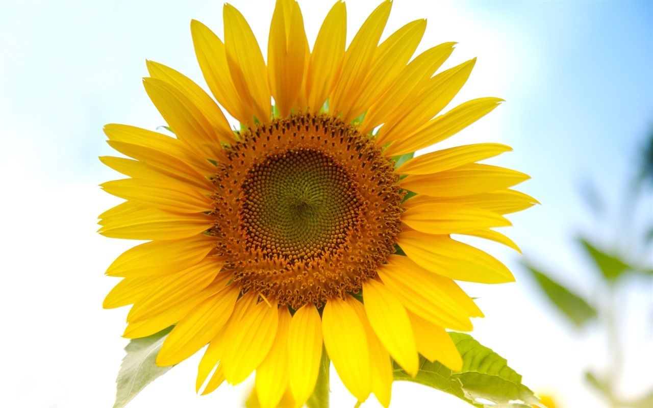 Beautifulsunflower flower pictures painting inspiration