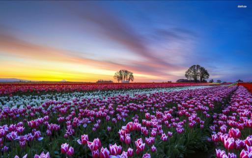 Julia On Twitter Field Wallpaper Tulip Fields Tulips