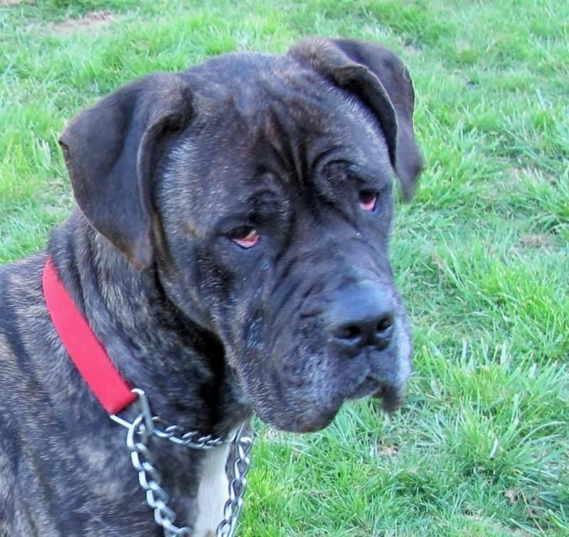 Adopt Alba On With Images Dog Adoption British Mastiff Corso Dog