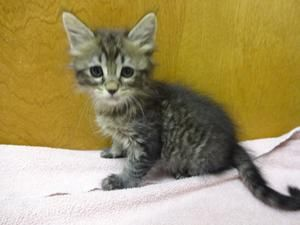 Ariel is an adoptable Domestic Short Hair Cat in River Grove, IL. This is Ariel! She is a 10 week old kitten. Her adoption fee is $100 and includes her spay, microchip, first round of vaccines, and FI...