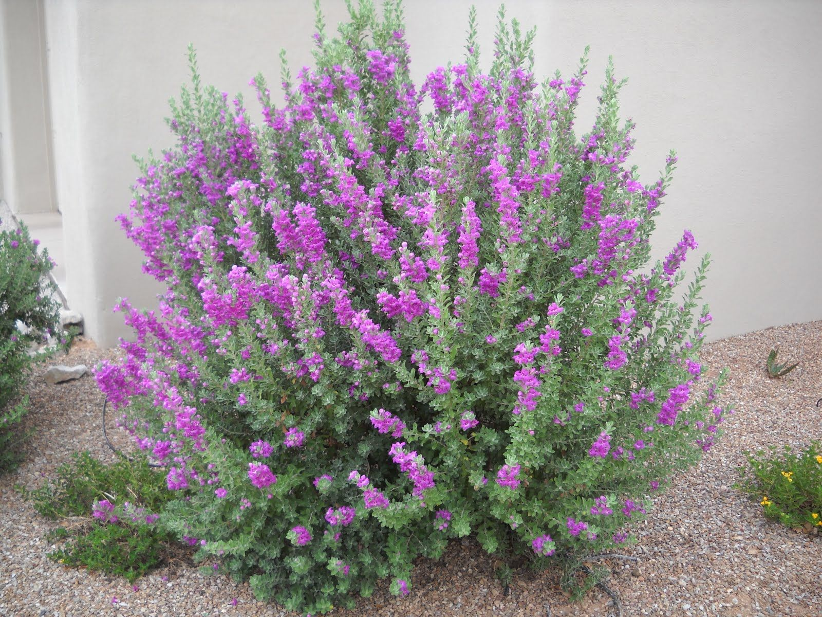 Rain cloud texas ranger leucophyllum frutescens 39 rain for Garden shrubs
