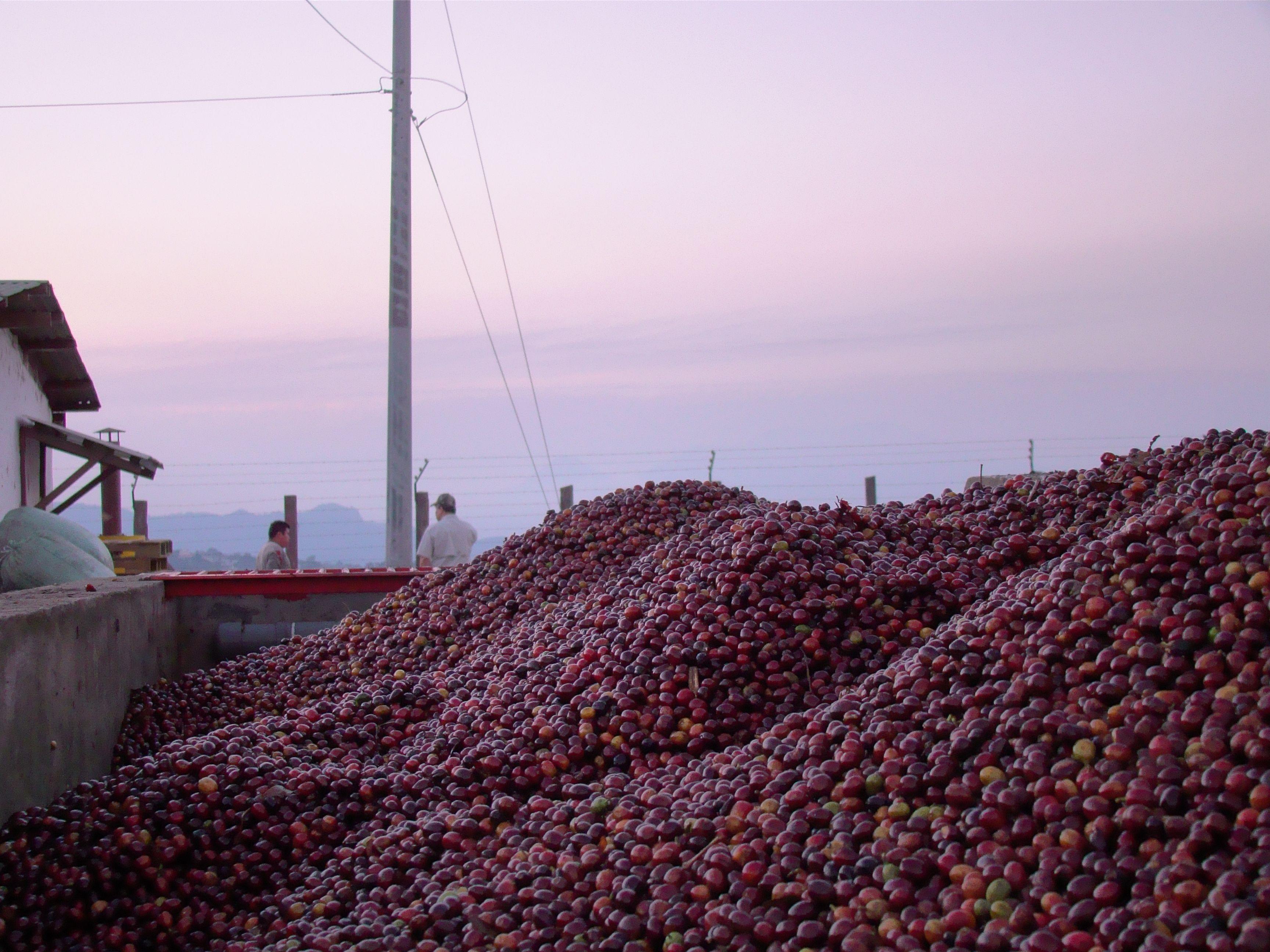 Uva en pila de recepción, Montenegro