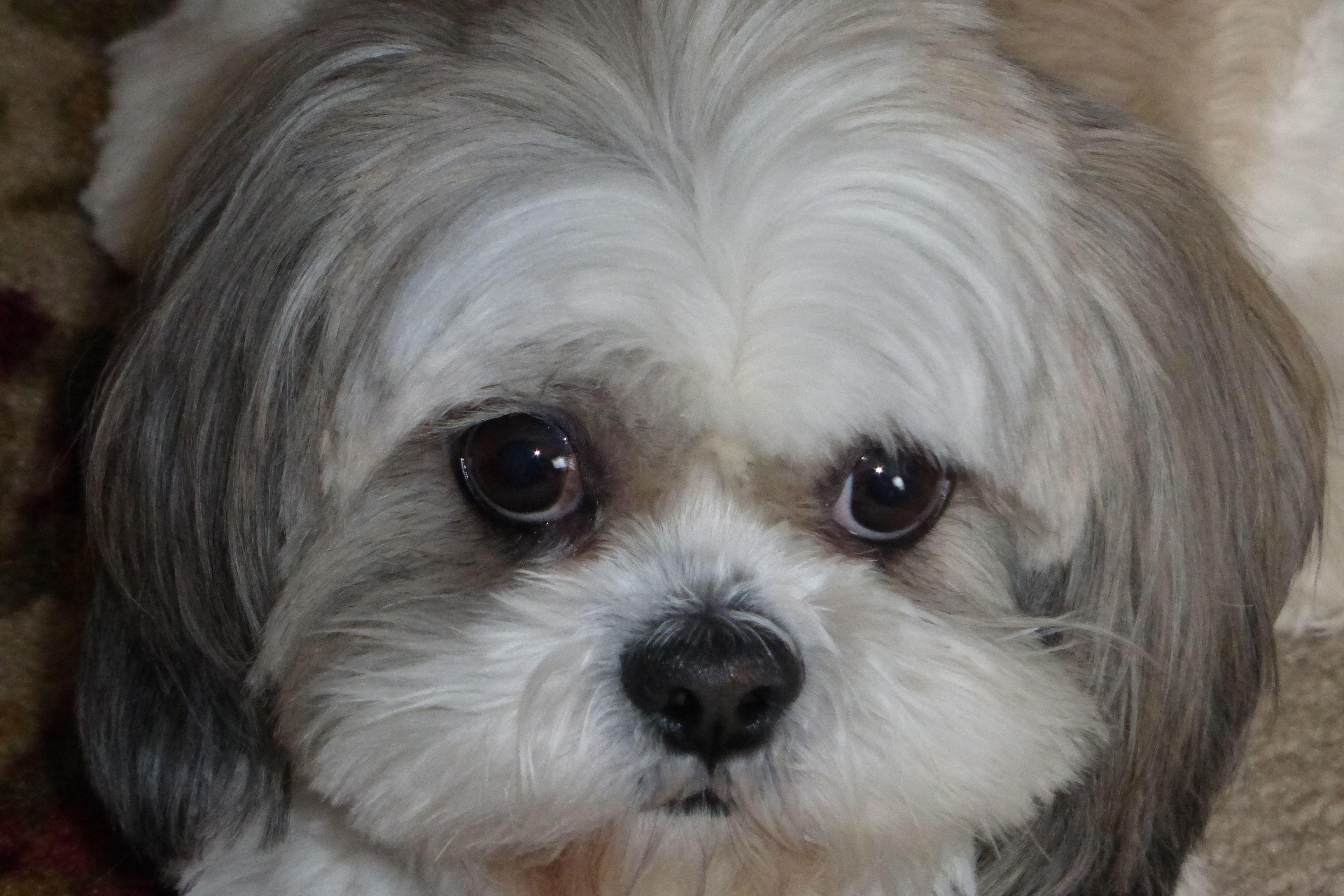 Im sorry mommyi love you shih tzu shih tzu puppy