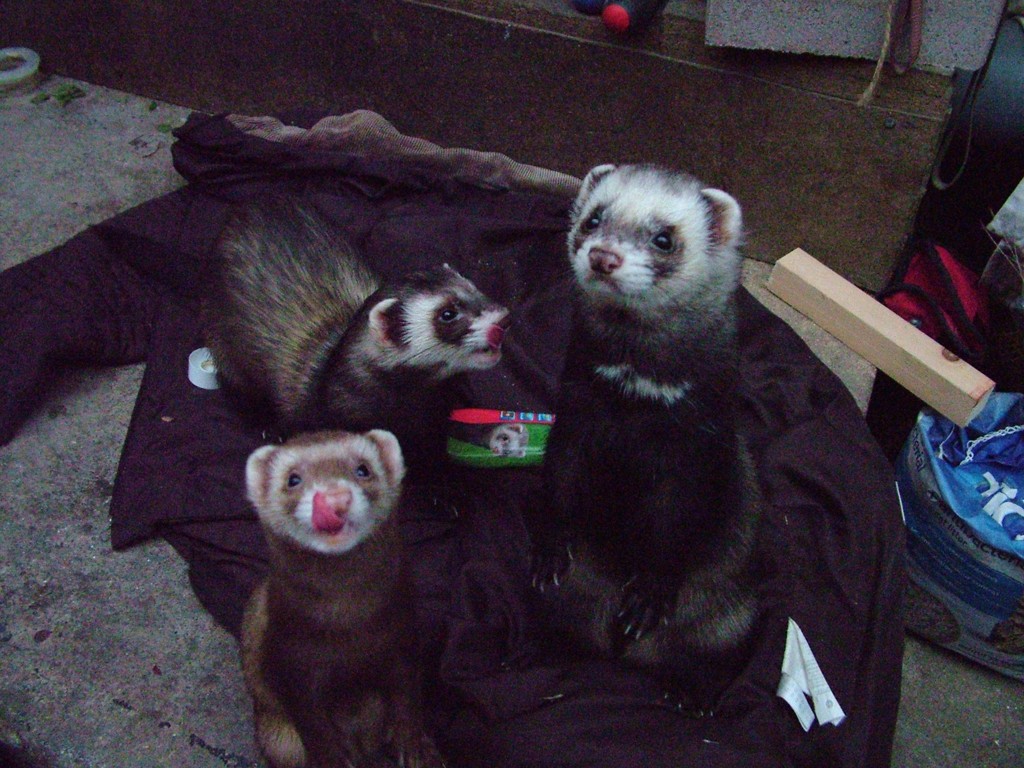 Nibble, Spike and Dexter my ferrets Ferret, Furry, Animals