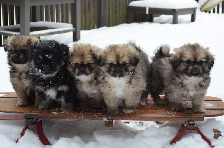Puppies Tibetan Spaniel Spaniel Puppies Puppies