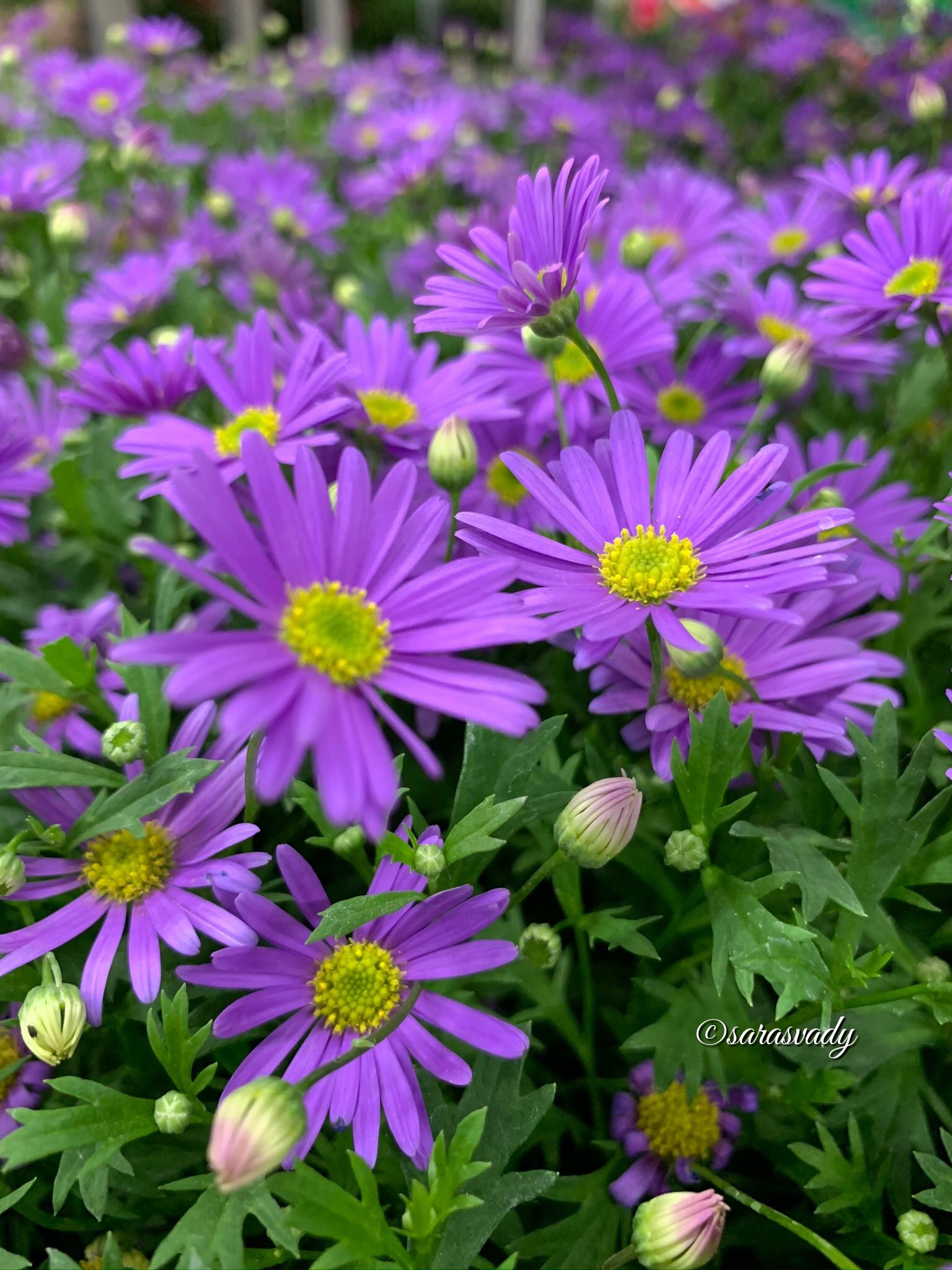 Pin By Sarasvady Rattinavelou On Violet Flowers In 2020 Violet Flower Planting Flowers Pretty Flowers