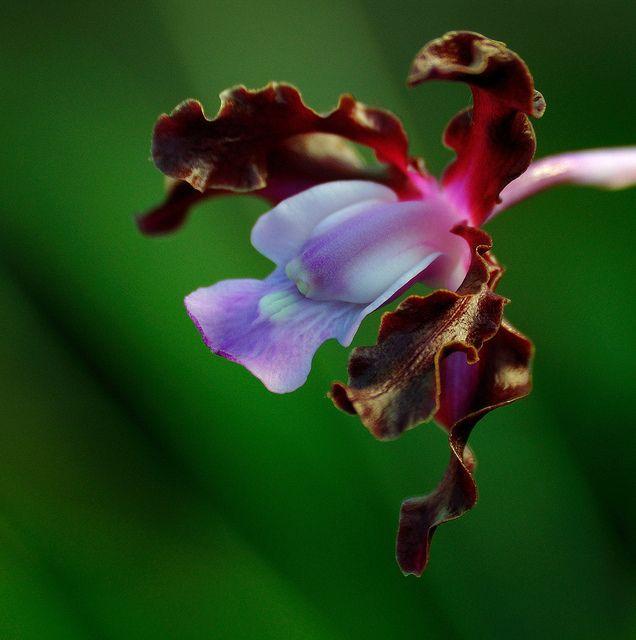 Schomburgkia Undulata Ochid Species
