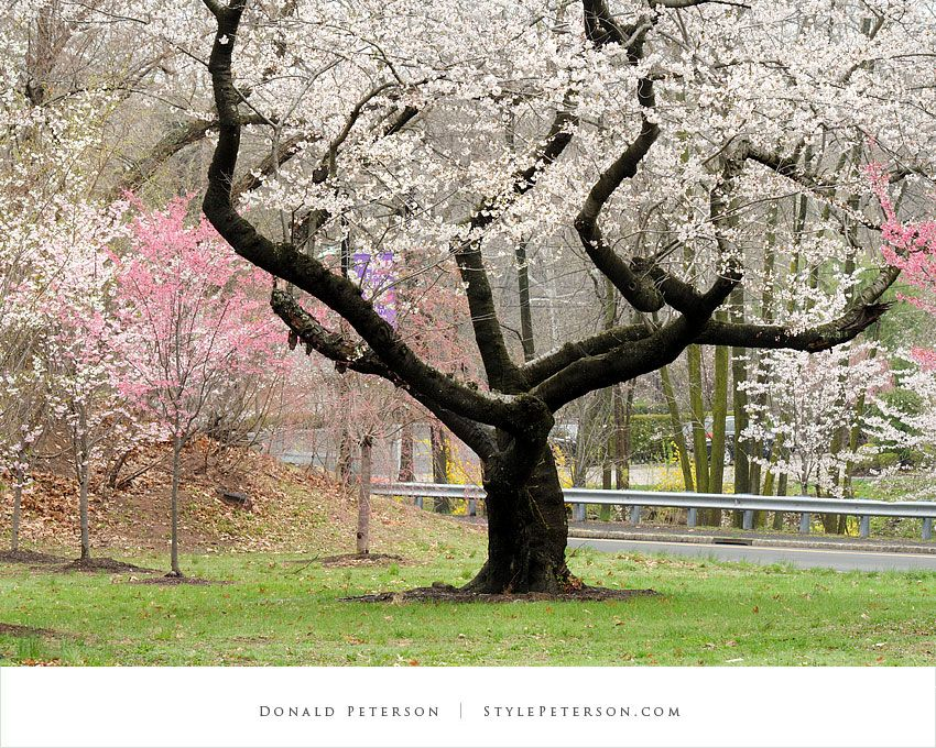 It Isn T The Best Picture Of A Cherry Blossom But I Like Seeing All The Twisted Branches In This One