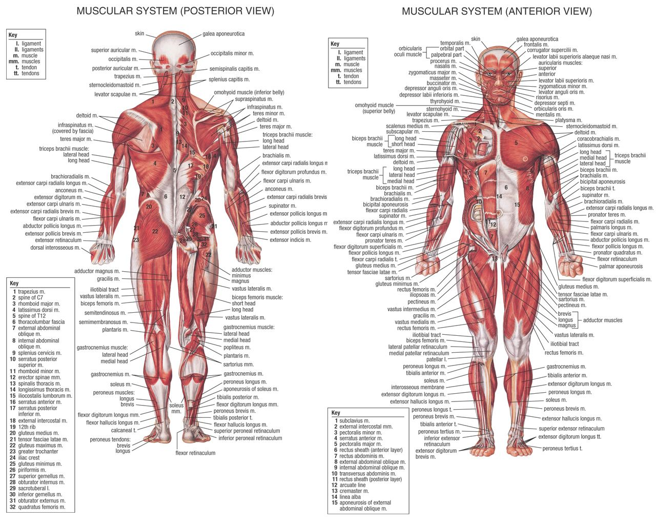 diagram of the muscular system images - learn human anatomy image, Muscles