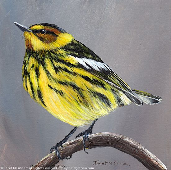 Cape May Warbler No 2 by Janet Graham Acrylic ~ 5 inches x 5 inches