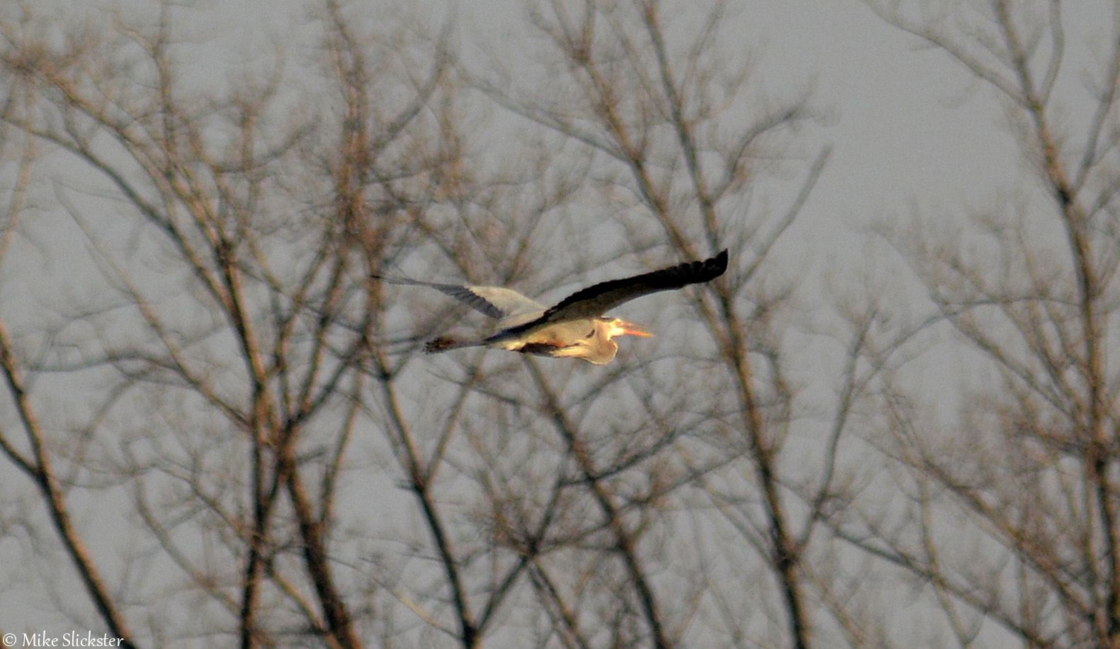 Blue Heron Cruising Past Andalusia