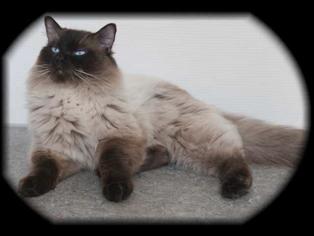 A Deep And Dark Adult Sealpoint Colorpoint Ragdoll Cat I Love It S Coat So Pretty