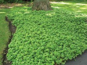 Bodendecker gegen Unkraut: Welche Pflanzen eignen sich dafür? #vorgartenanlegen