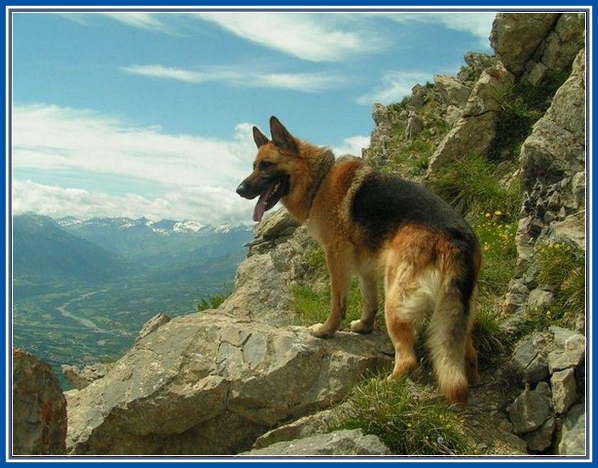 Super German Shepherds Police Dogs More Design http://joesquest.com/dog-breeds/german-shepherds-police-dogs/