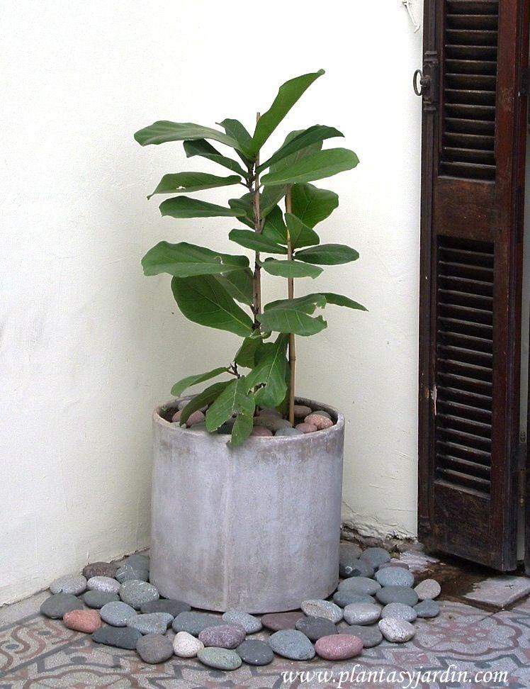 Ficus lyrata o pandurata posee unas hojas grandes y muy for Plantas decorativas