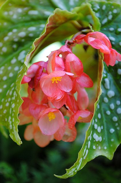 The Angelic World Of A Wet Pink Angel Wing Begonia Wrapped In Its White Spotted Leaves Begonia Strange Flowers Botanical Flowers