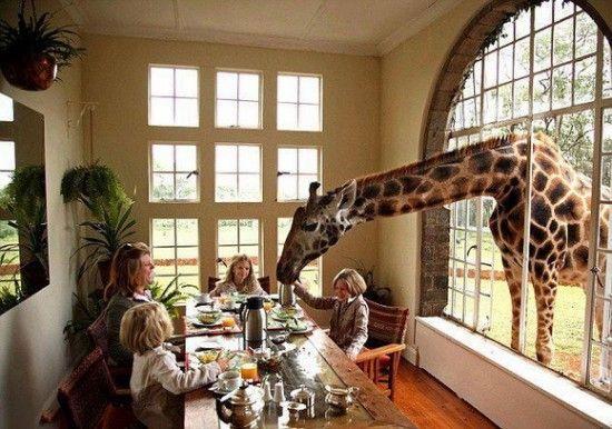 Comiendo con la jirafa