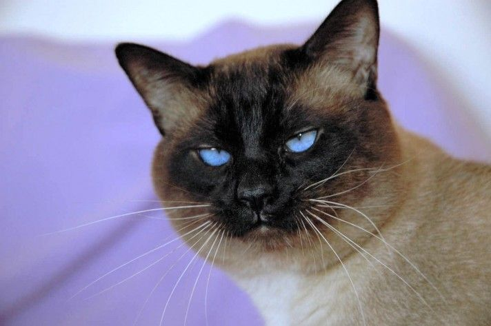 Traditional Siamese Cats For Sale Siamese Cats For Sale Siamese Cats Siamese Kittens