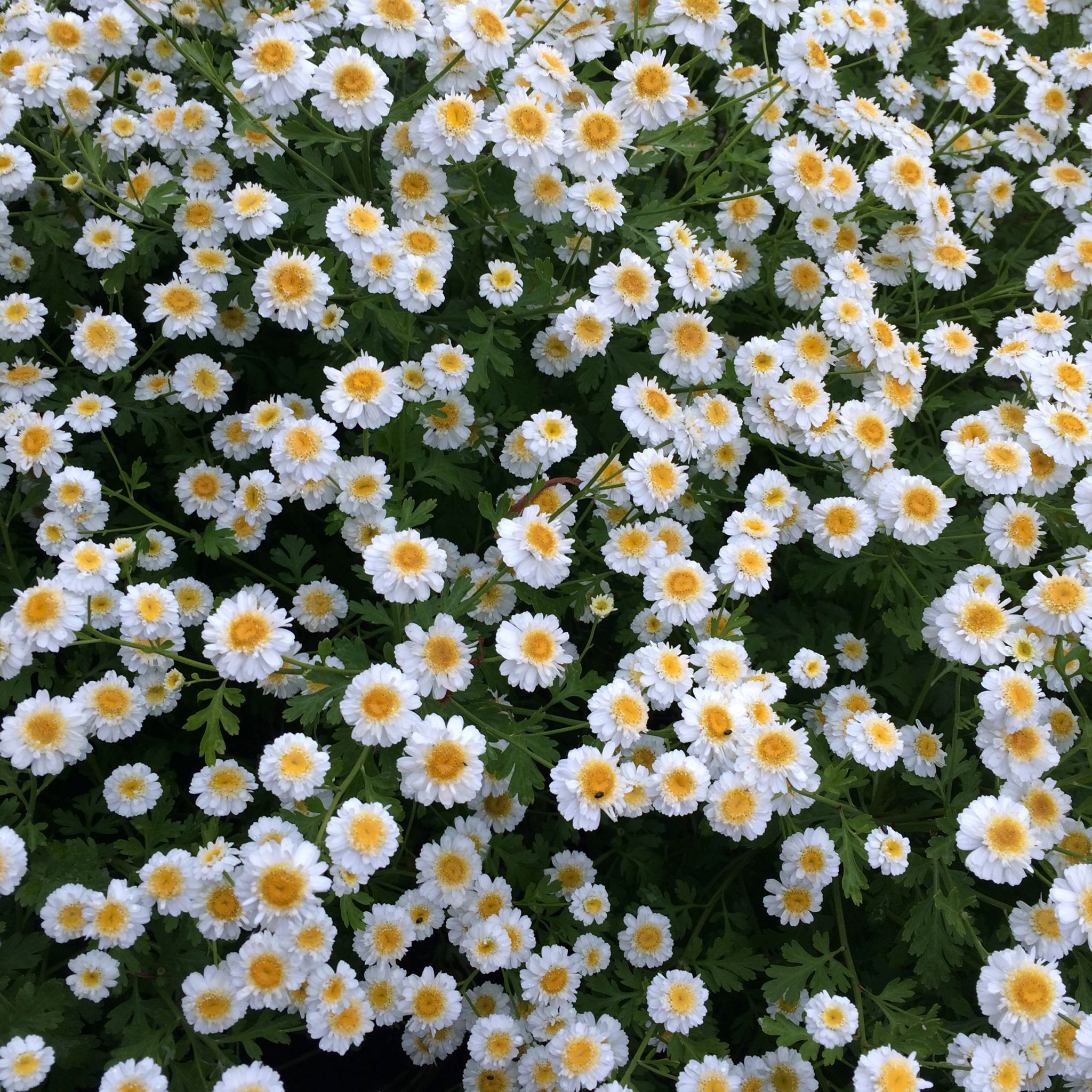 Double feverfew a classic daisy type flower an example of flowers a classic daisy type flower an example of flowers in bloom in izmirmasajfo