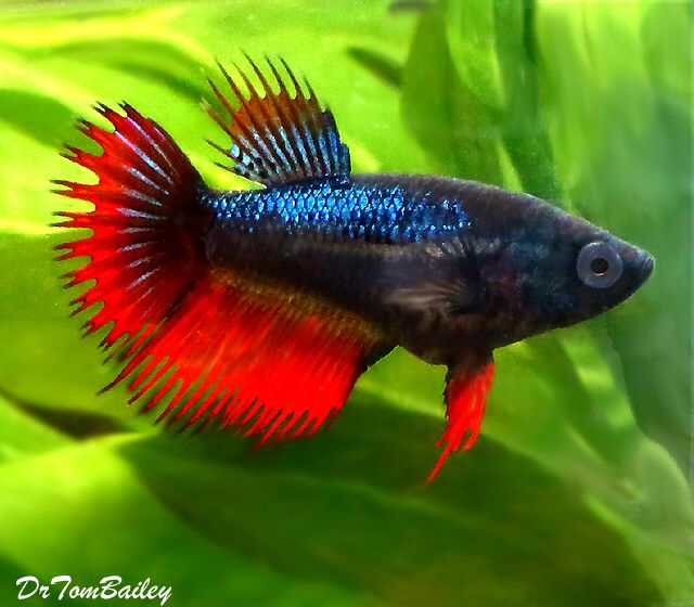 Red Blue Female Crowntail Betta Featured Item Red Blue Female Crowntail Betta Fish Petfish Aquarium Aquar Aquarium Fish Betta Fish Betta Fish Care