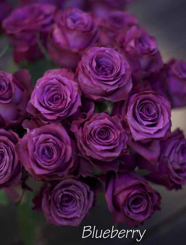 The Lavender Purple Rose Study Purple Roses Purple Flowers Beautiful Roses