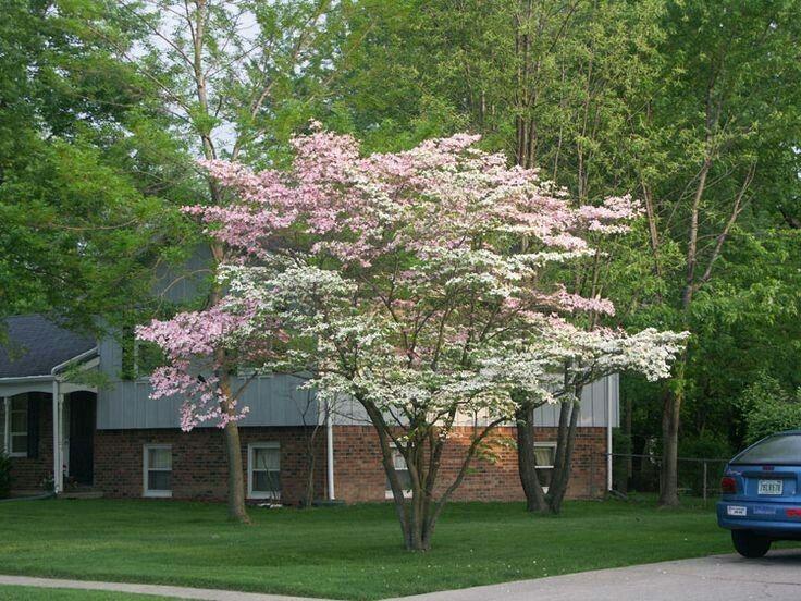 Cornus Florida Flowering Dogwood Zone 5 To 9 Height 15 30 Feet Spread