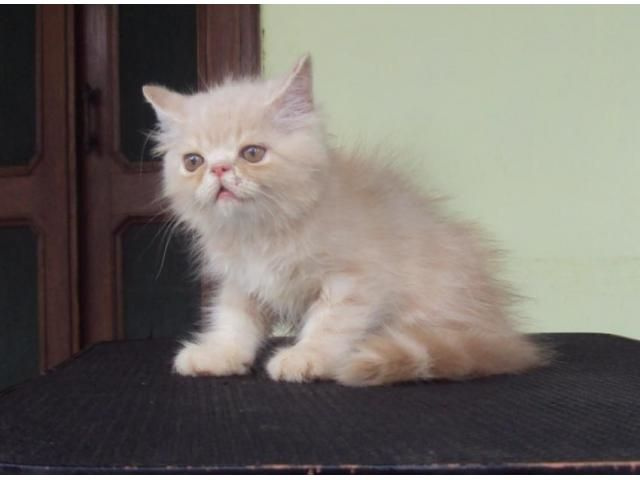 Semi Punch Face Persian Kittens For Sale West Delhi Dog Buy Sale Persian Kittens Persian Kittens For Sale Kitten For Sale