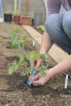so pflanzen sie tomaten im gew chshaus garten pinterest schnur tomaten und setzlinge. Black Bedroom Furniture Sets. Home Design Ideas