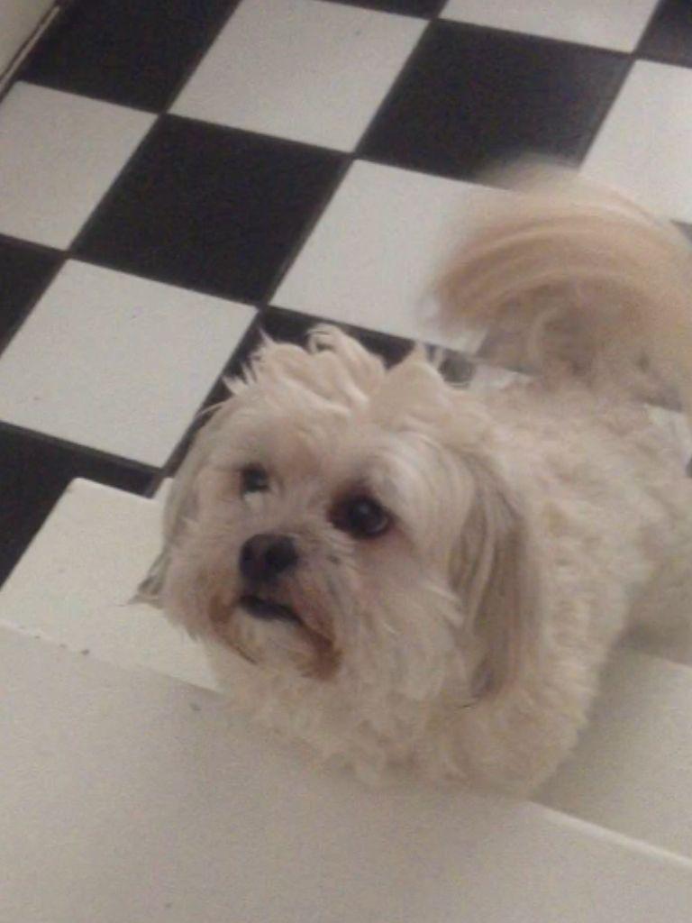 Half Shiatsu Half Maltese Dogs And Puppies Dogs Puppies