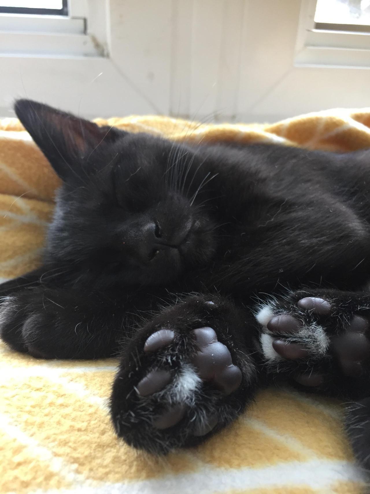 Cute Scottish Fold Kitten Cat Water Fountain Kittens Cutest Cats