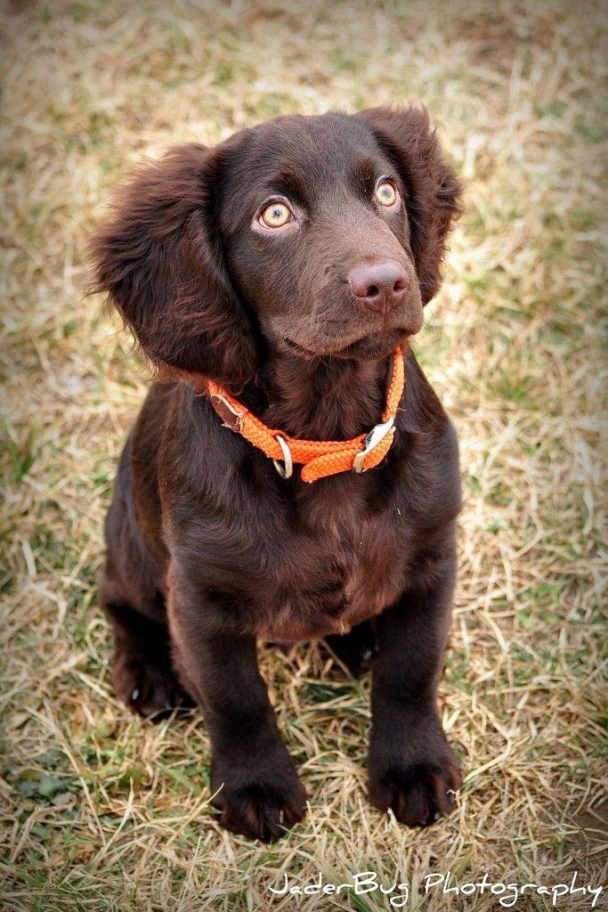 Boykin Spaniel Want Pinterest Boykin Spaniel Dog And Wheaten