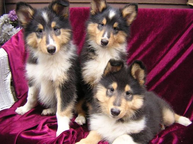 Three Adorable Tricolor Rough Collie Puppies Rough Collie Rough
