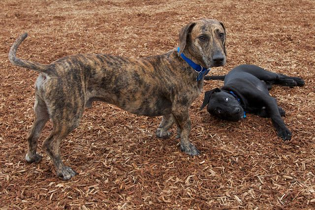 Those Special Dachshund Mixes Meet Giles Dachshund Mix Dog