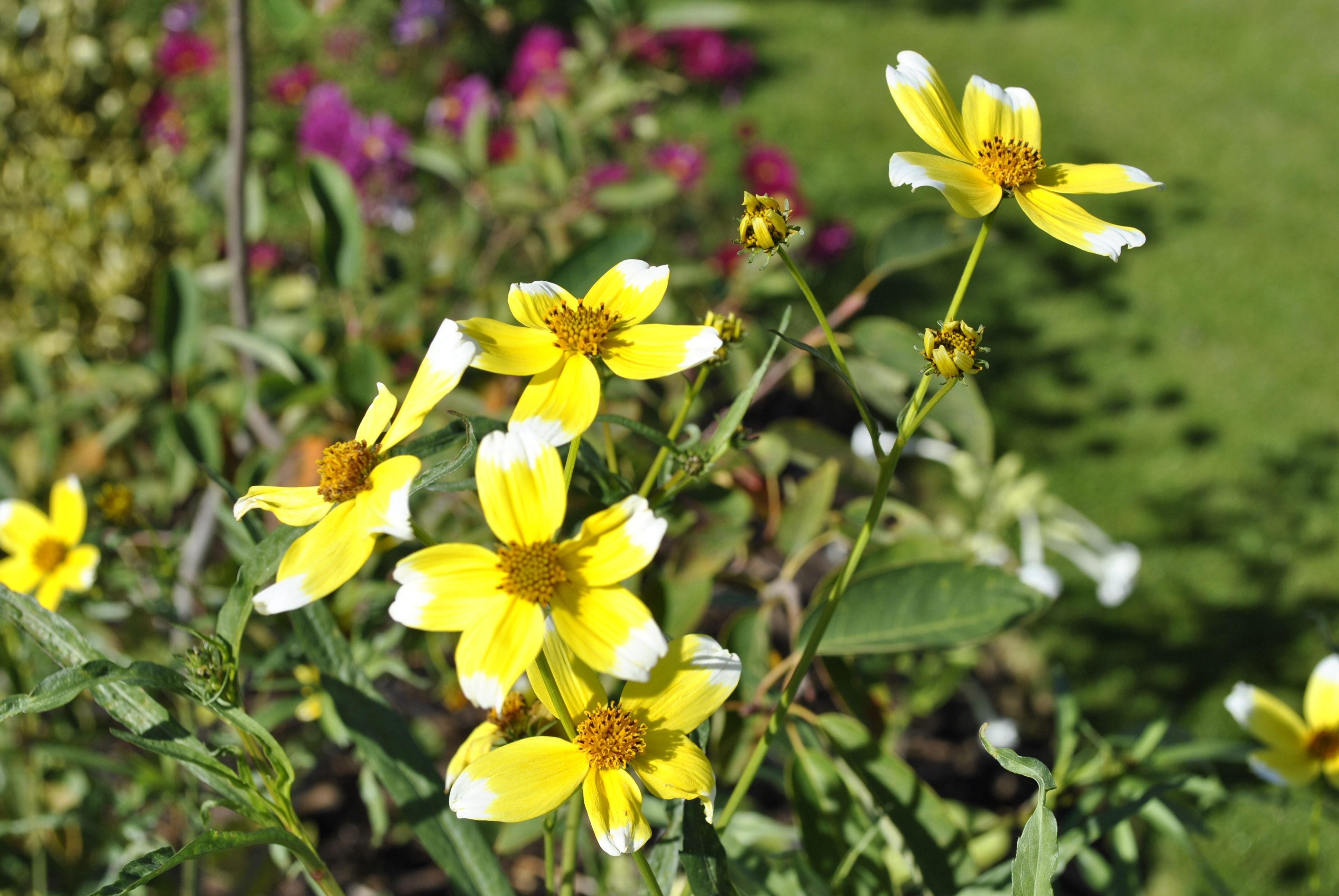 Bidens aurea hannays lemon drop container plants