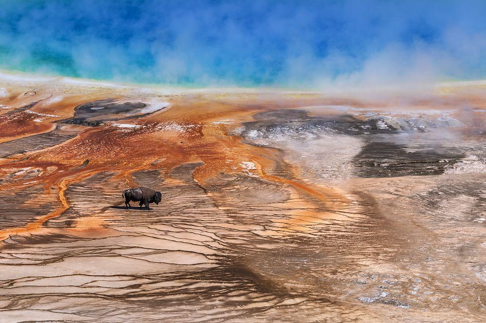 """Bild aus dem Wettbewerb """"Welt der Farben""""    Bei allen heißen Quellen und Geysiren im Yellowstone NP warnen Schilder, die Wege keinesfalls zu verlassen. Davon völlig unbeeindruckt stapfte dieser ausgewachsene Bisonbulle geradewegs durch den Ablauf des Grand Prismatic Spring, um etwas abseits in einem kleinen Loch ein Dampfbad zu nehmen.      Jetzt freu ich mich aber wirklich über meinen ersten """"echten"""" Stern in der .de-Galerie.  Nochmals herzlichen Dank an  [fc-user:1090871] für den…"""