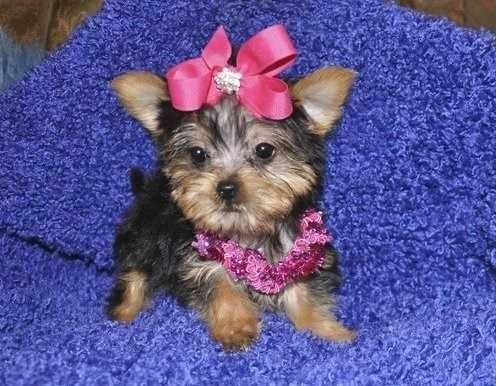 Tecup Pupys In Sc Teacup Yorkie Puppies Available For New Homes