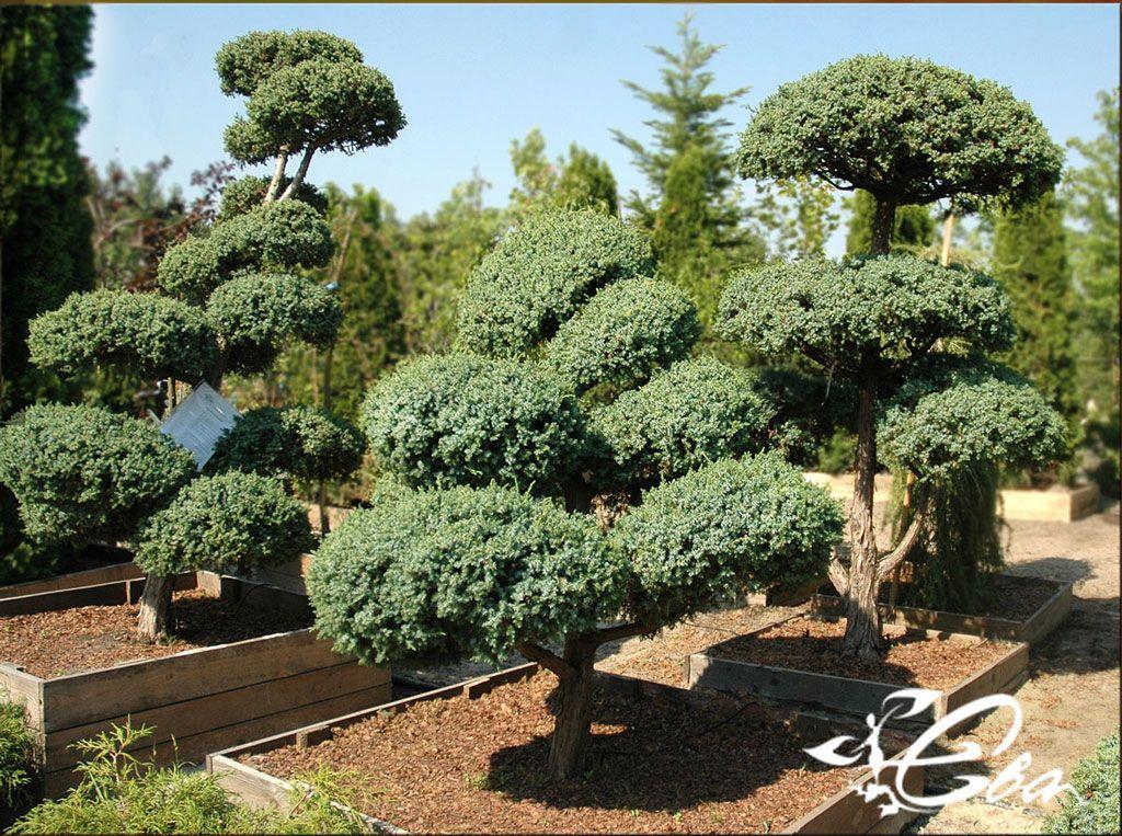 Juniperus chinensis `Blue Alps`. Jałowiec chiński