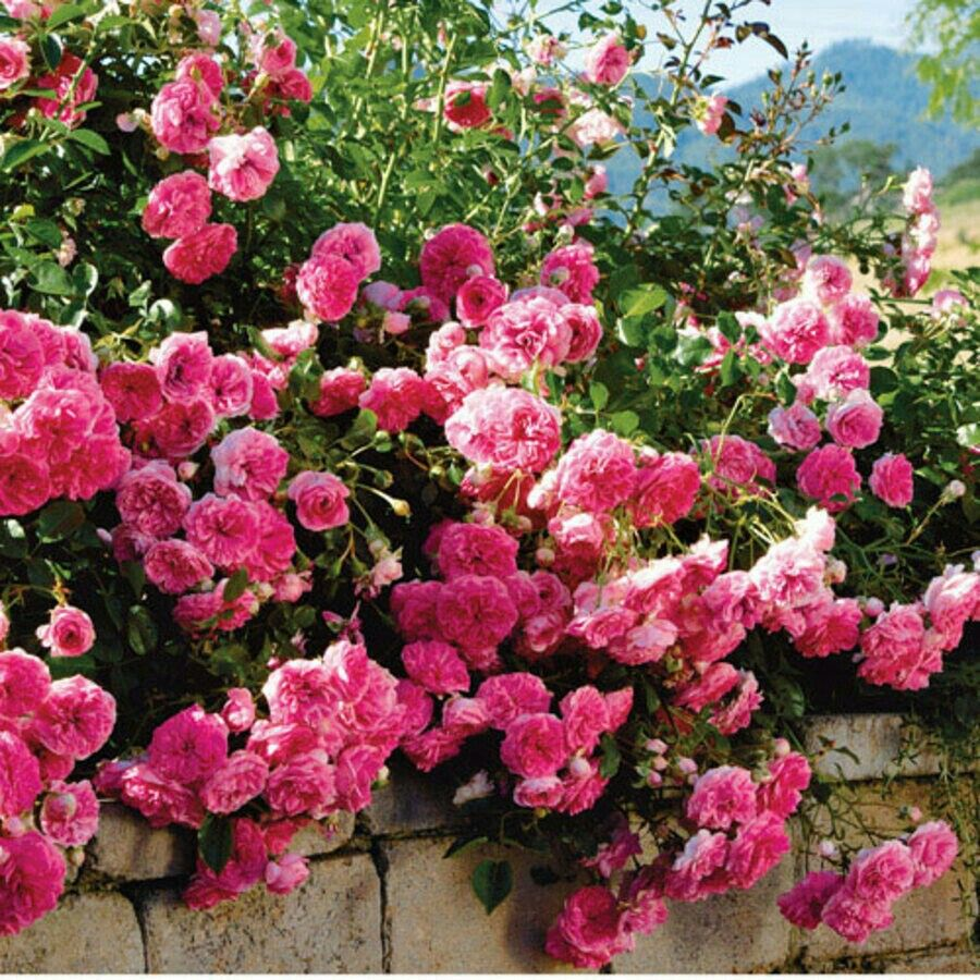 "Petal Pushers"" Pink Groundcover Rose Jackson And"
