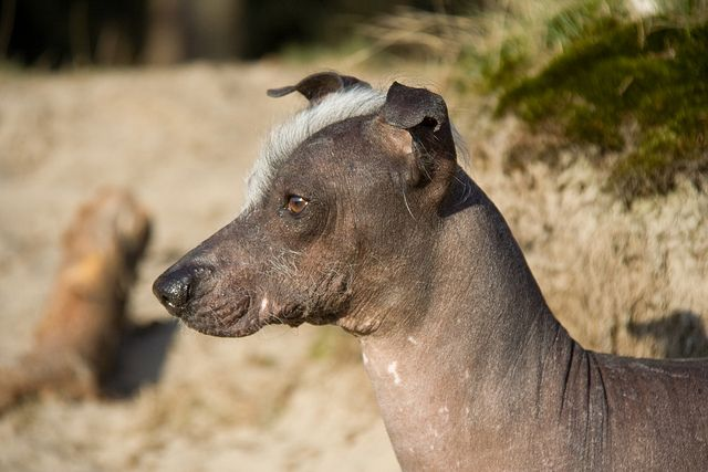 Peruvian Inca Orchid This Hairless Dog Isn T Completely Hairless See The Mohawk D Peruvian Hairless Dog Hairless Animals Hairless Dog