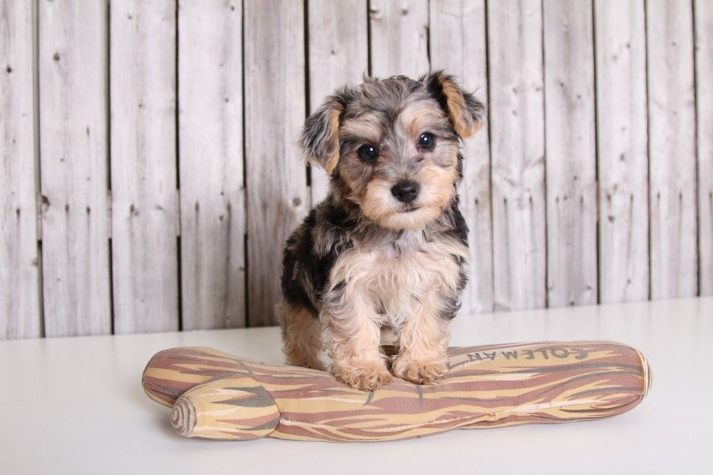 Yorkie Poo Puppies For Sale Puppies Online Oh Yorkie Poo Yorkie Yorkie Poo Puppies