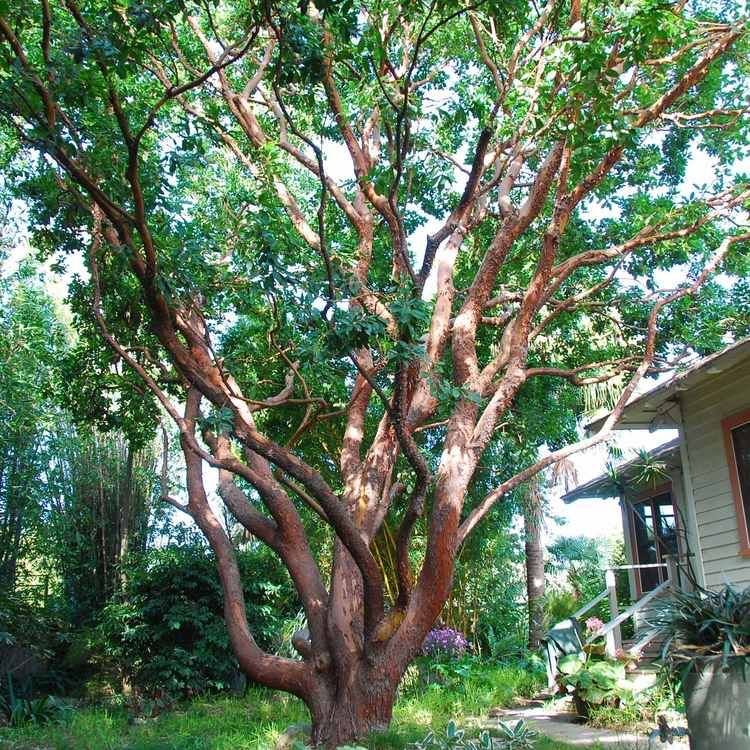 One Of My Favorite Trees In The World Arbutus Unedo Strawberry