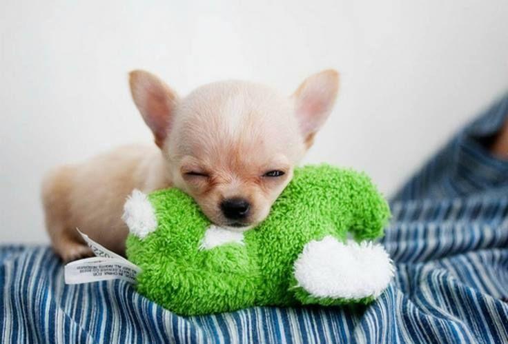 Sooo Adorable Cute Chihuahua Chihuahua Puppies Cute Animals