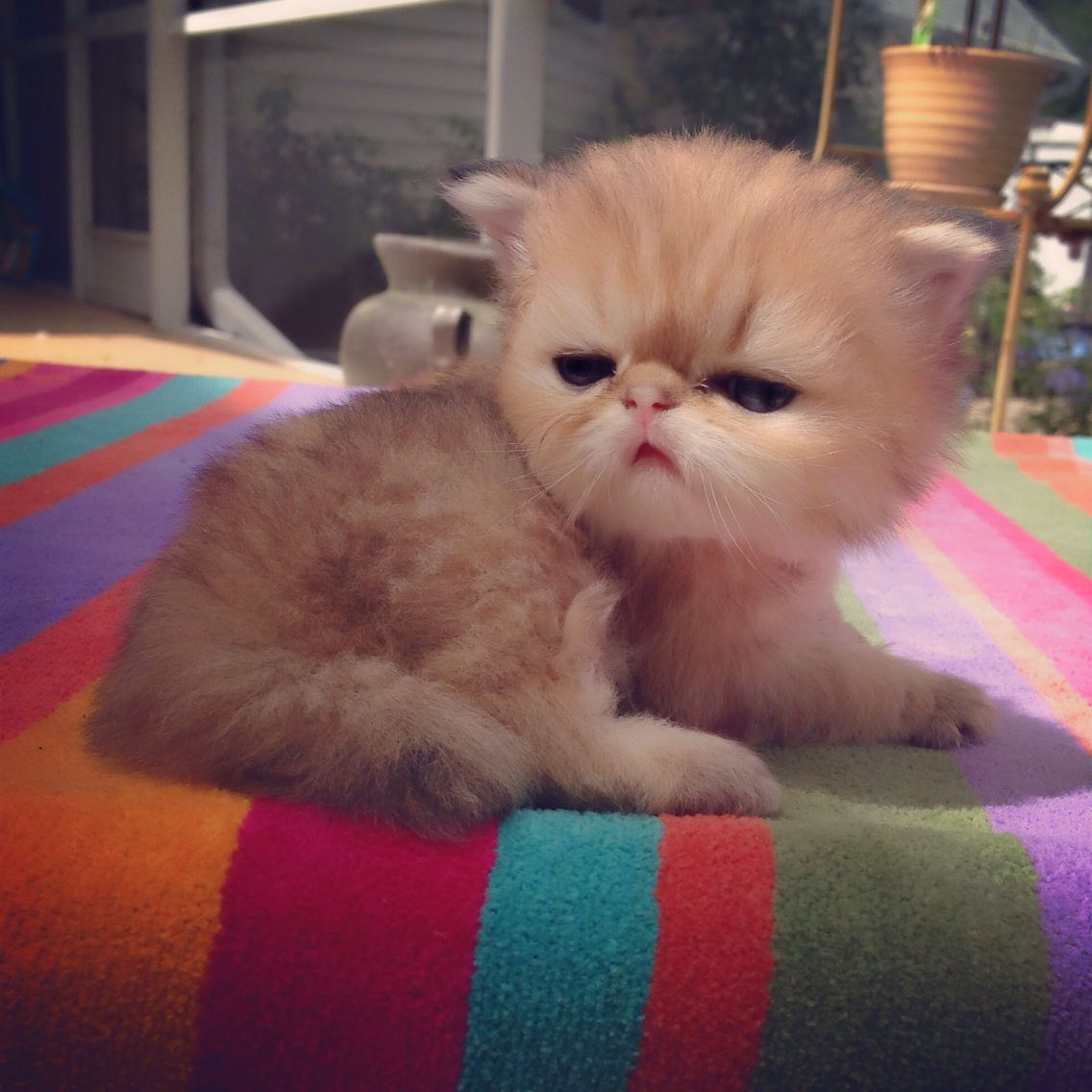 Teacup Kittens For Sale at KismetKittens To Reserve Web